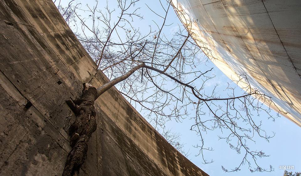 시멘트 외벽에 뿌리 내린 오동나무